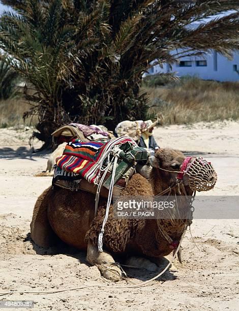Dromedary Camelidae Sahara desert Tunisia