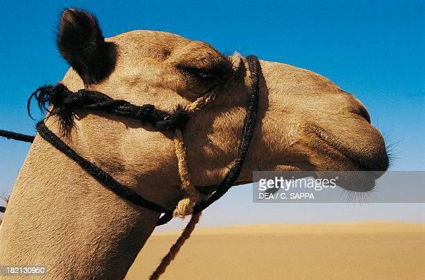 Dromedary Camelids Sudan