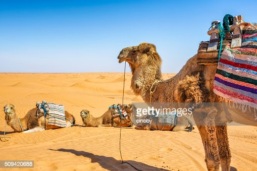 Dromedary in the Sahara desert of Ksar Ghilane erg , Tunisia