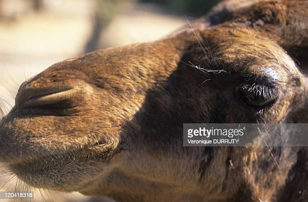 Dromedary in the Sahara Desert Southern in Morocco