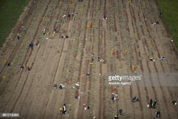 A drone photograph taken from Hatay's Reyhanli district located in Turkish side of the Syrian border shows Syrians work on a field near the border...