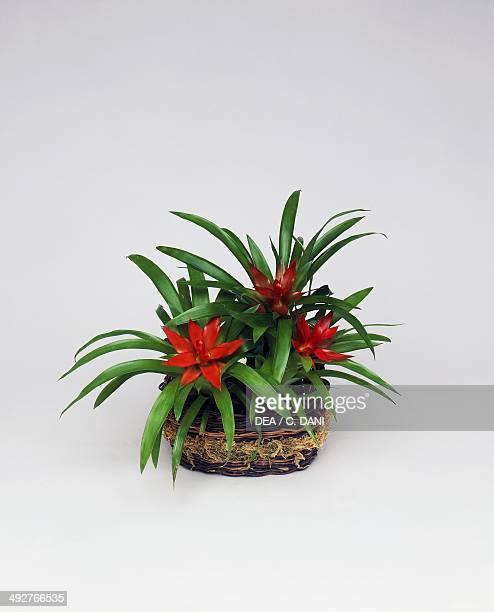Droophead tufted airplant Bromeliaceae