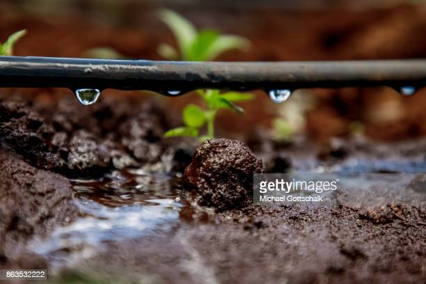 Drop irrigation at a field at farm on which plants grow with the support of the irrigation system of local farming cooperative Mitooini The field of...