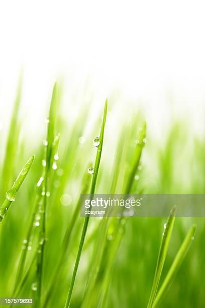 Mit Tropfenmuster auf blade von Weizengras
