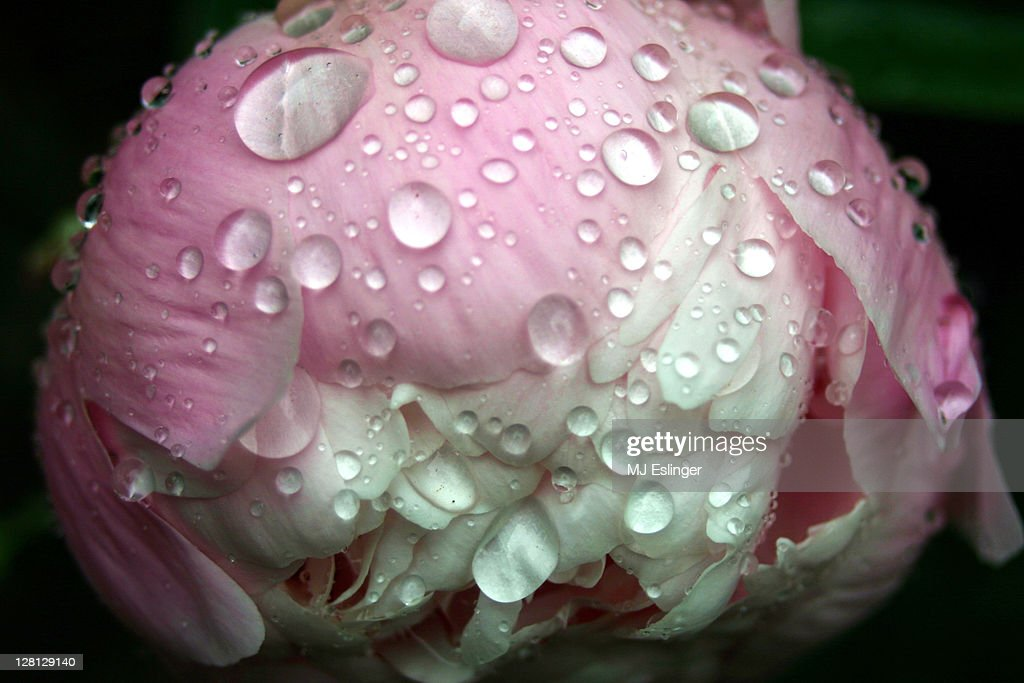 Drops of water on a pink peony : Stock Photo