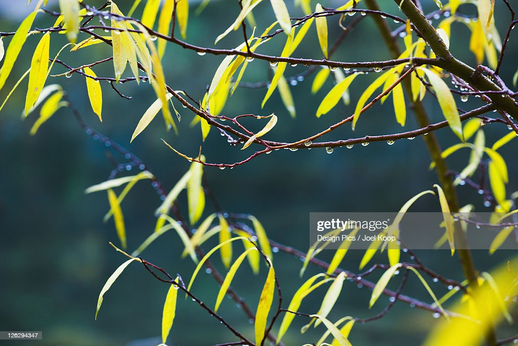 drops of water on yellow willow leaves in autumn : Stock Photo
