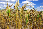 Poorly developed cornstalks show the effects of prolonged hot, dry weather on a farm in southern Wisconsin.
