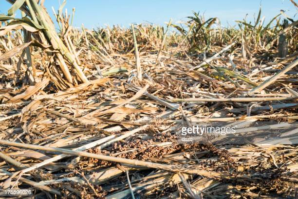 Drought ravaged crops