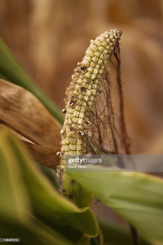 Drought-damaged corn grows in a field on July 17, 2012 near Princeton, Indiana. The corn and soybean belt in the middle of the nation is experiencing one of the worst droughts in more than five decades. Indiana was the nation's fourth largest corn producer in 2011.