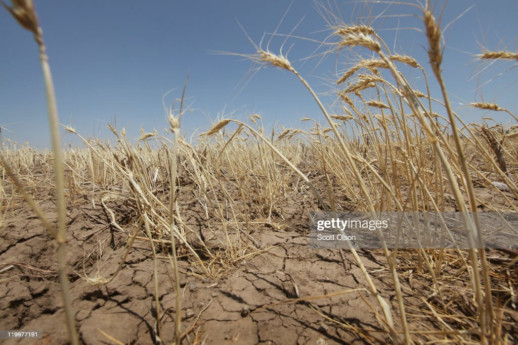 A drought-stricken wheat field bakes in the sun July 27, 2011 near Hermleigh, Texas. A severe drought has caused the majority of dry-land (non-irrigated fields) crops to fail in the region. The past nine months have been the driest in Texas since record keeping began in 1895, with 75% of the state classified as 'exceptional drought', the highest classification.