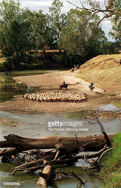 Drover John Dries and his wife Sue herd sheep four miles out of Gunnedah NSW 13 May 1997