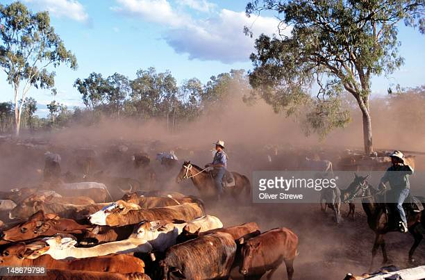 Droving cattle on horseback at Artemis Cattle Station.