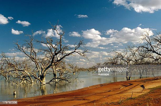 Drowned eucalypts in Lake Cawndilla Far western New South Wales Australia