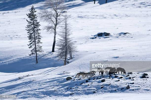 Druid wolf pack in snow filled Lamar Valley, Yellowstone