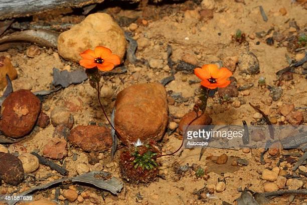 Drummond's sundew Drosera barbigera a small carnivorous plant a Western Australia endemic about 10 cm tall Dryandra Woodland Wheatbelt region Western...