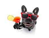 cool drunk french bulldog  dog cheering a toast with cocktail drink , looking up to owner ,   isolated on white background