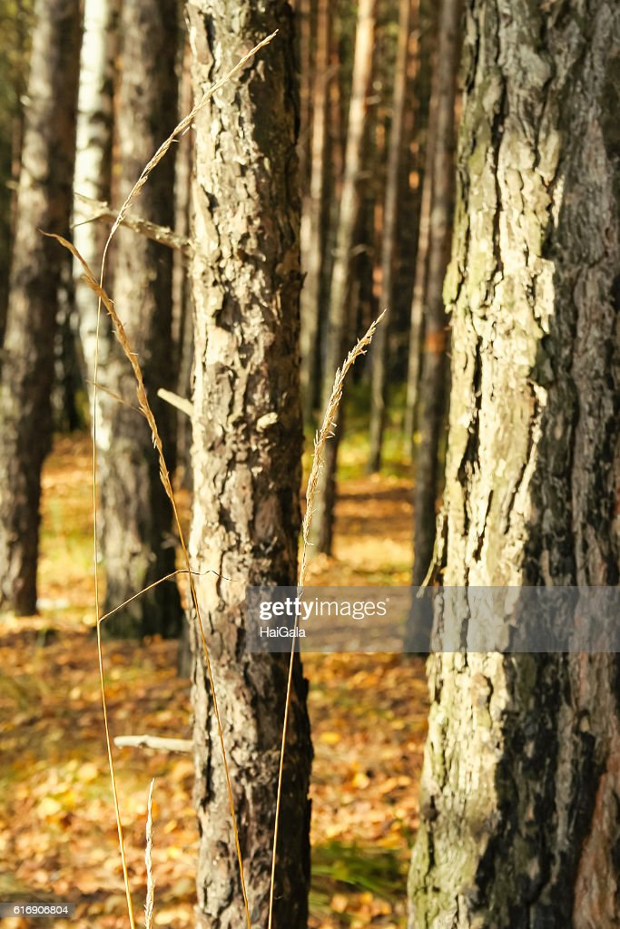 Dry autumn blade on a background of trunks of pine-trees : Stock Photo