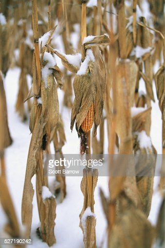 Dry cornfield covered with snow : Stock-Foto