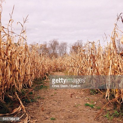 Dry Crops On Field Against Sky