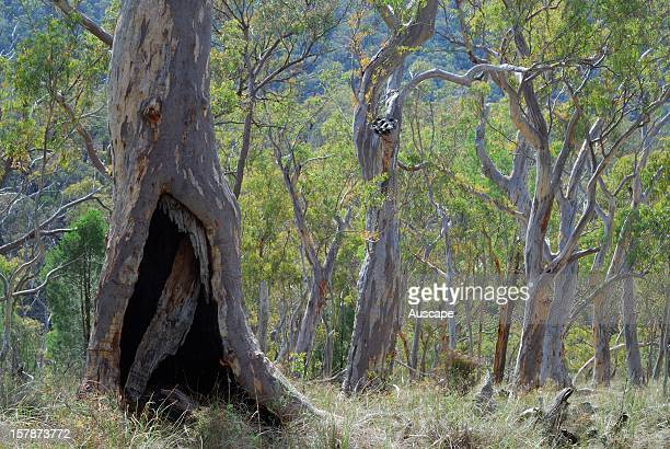 Dry eucalyptus woodland with Inland scribbly gum Black Mountain Nature Park Canberra Australian Capital Territory