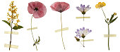 Six dried in a book flowers isolated on white. Among them 2 poppy flowers