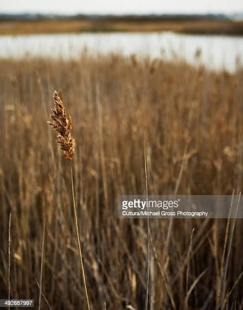 Dry grass, close up