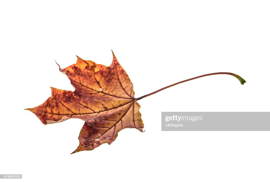 Dry maple leaf isolated on white background : Stock Photo