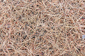 Dry old pine needles on the ground as background