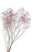 Dry pink baby's breath flowers isolated on white background