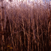 Dry plant stalks