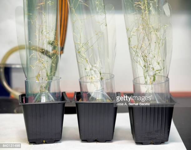 Dry plants of Arabidopsis thaliana prepared to gather his seeds a in a laboratory of molecular biology realizing works of of plantation of seeds modified geneticallys, DNA. Spain.