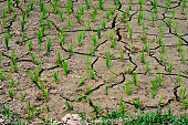 rice growing in the rice field, no water,dry on drought land.
