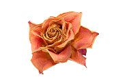 isolated dry rose on a white background