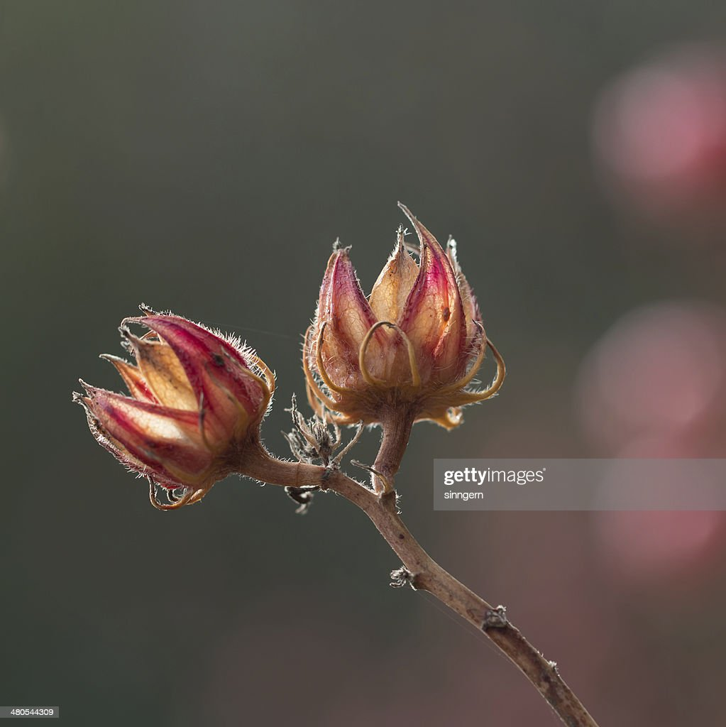 dry roselle flower : Stock Photo