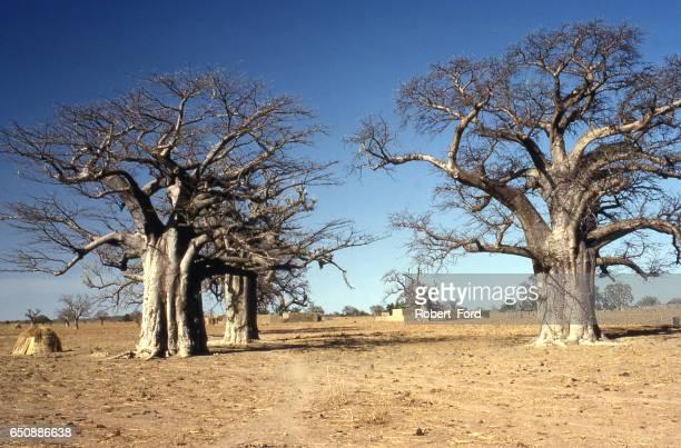 Dry season nomadic herders camping in farmer fields Yatenga Burkina Faso Africa