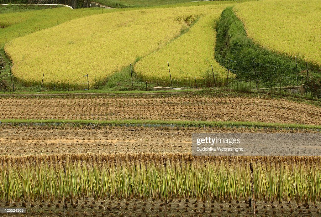 Dry the harvested rice on wood frame in a paddy field during rice harvesting season on September 18 2011 in Sayo city Hyogo Japan September is the...