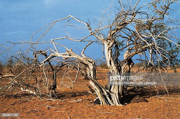 Dry tree following the drought the Sahel Africa