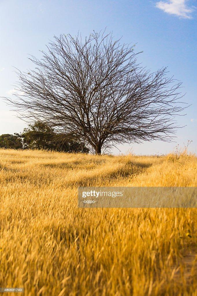 dry tree in a field : Bildbanksbilder