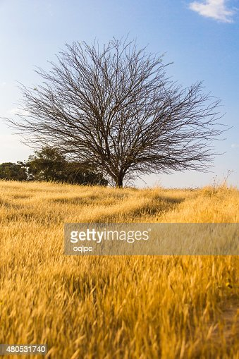 dry tree in a field : Stock Photo