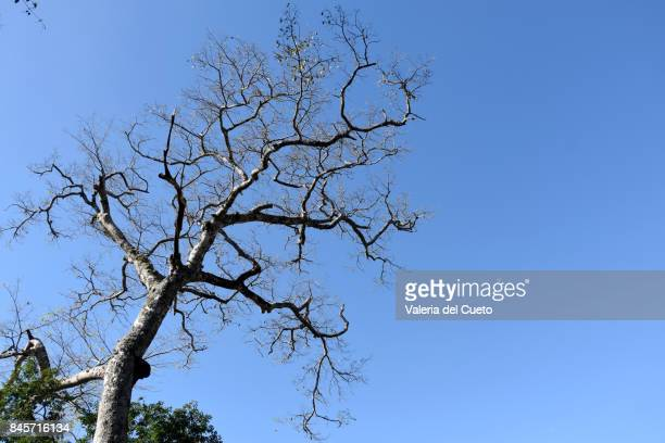 Dry tree  in blue indigo