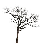 Dry tree isolated at on white background of file with Clipping Path .
