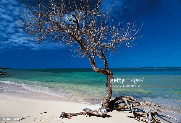 Dry tree trunk on Rose Hall beach Jamaica