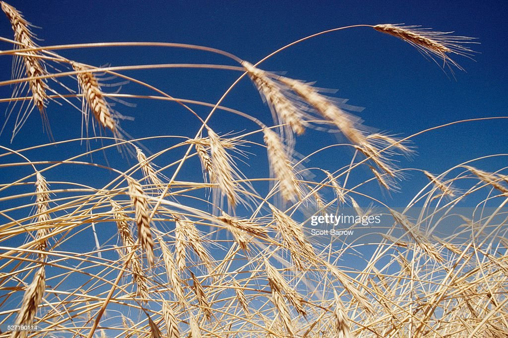 Dry wheat : Stock Photo