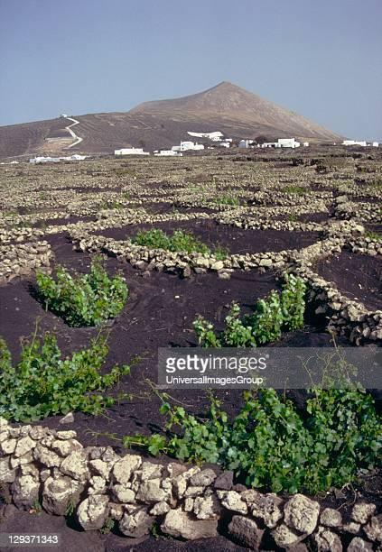 Dryfarming vineyard on lapilli covered fields vines funnel shaped walled holes Montana Blanca Lanzarote
