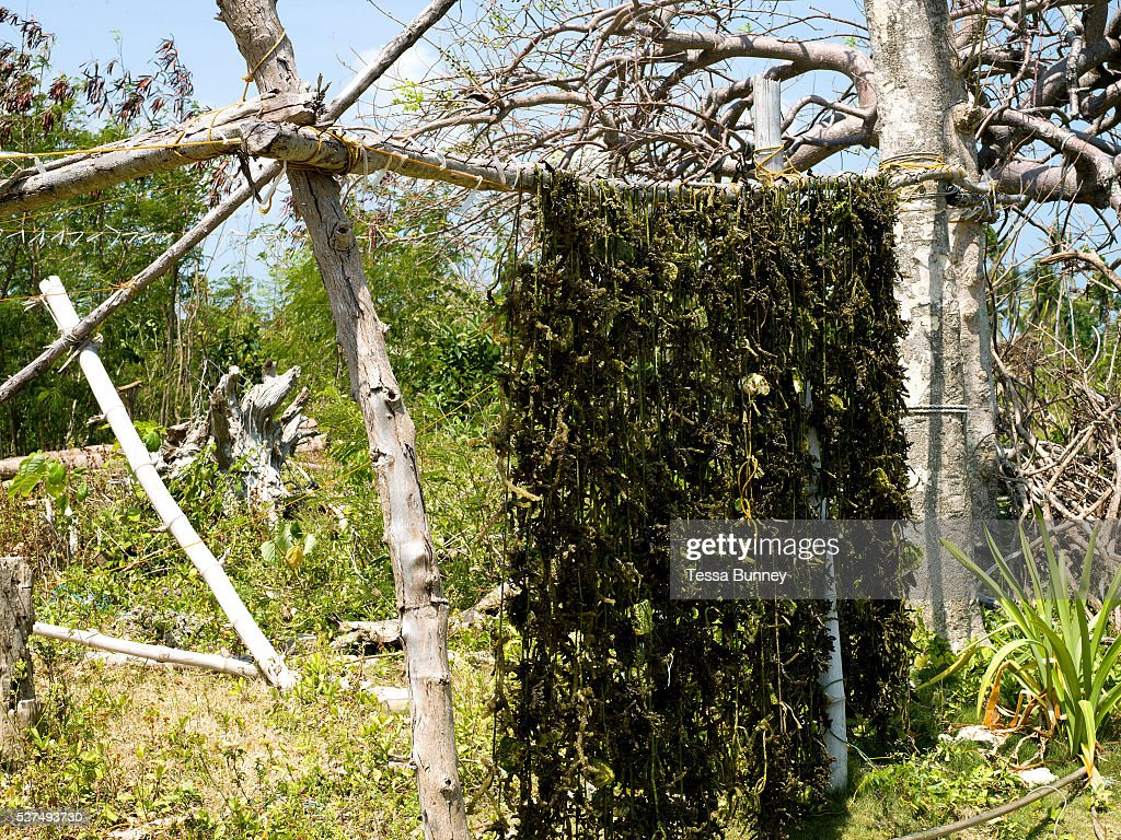 Drying seaweed after harvesting Tamiao Bantayan Island The Philippines Seaweed is fast growing and can be harvested in 12 months After drying the...