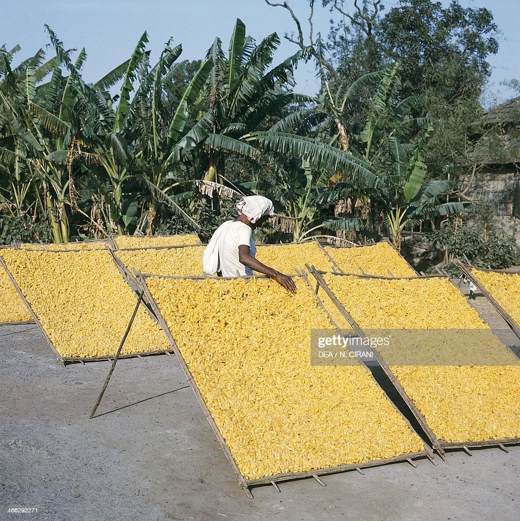 Drying silk cocoons in West Bengal, India.