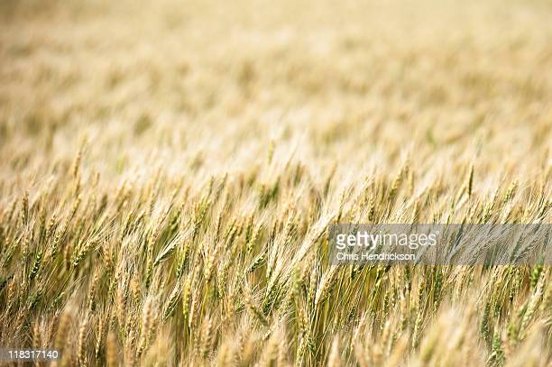 Drying wheat plants in a field.