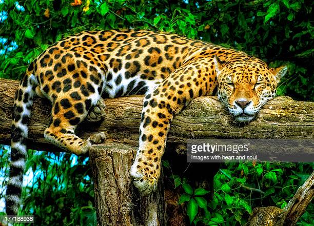 Dösender Jaguar