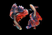 Dual betta fish isolated on black background. ( Mascot double tail ) Ballerina betta fish.