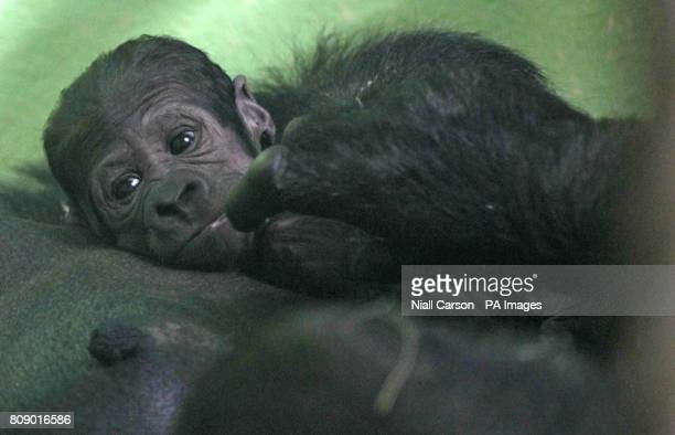 Dublin zoo's new baby gorilla who was born on Sunday weighing only 181kgs and so far keepers are unable to tell if it is a boy or a girl because mum...